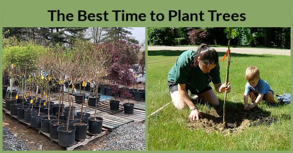 Le meilleur moment pour planter des arbres dans un jardin familial: le printemps par rapport à l'automne