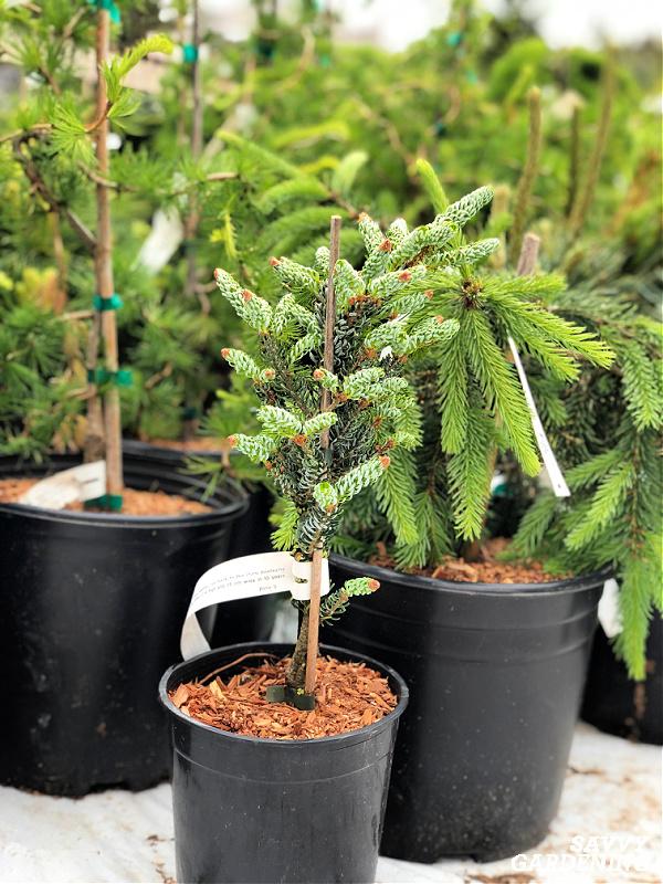 planter des conifères