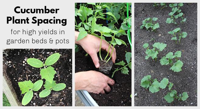 Espacement des plants de concombre pour des rendements élevés dans les jardins et les pots
