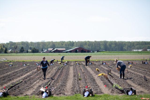 Équipe de fleurs plantant des tubercules de dahlia sur le terrain