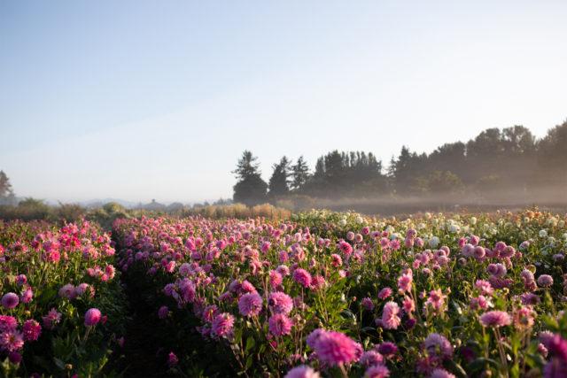 champ de dahlias fleuris