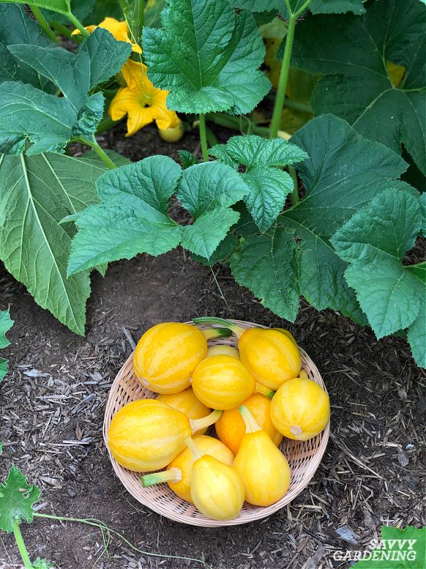 courge d'été au citron
