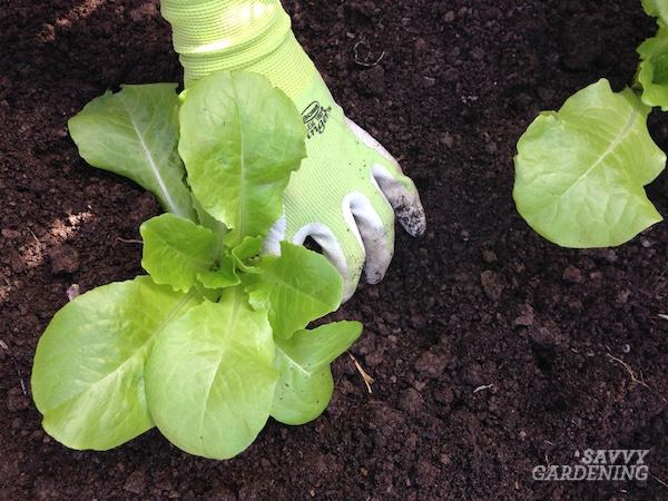 Comment planter de la laitue romaine
