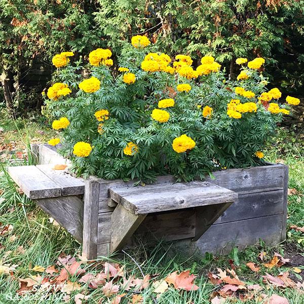 Un lit surélevé avec des bancs permet aux jardiniers d'atteindre le lit pour désherber et planter