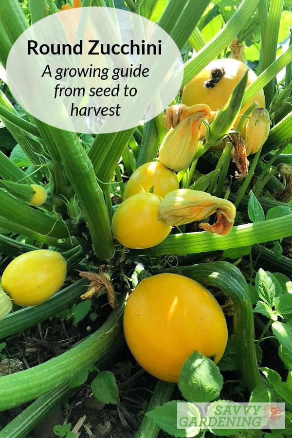 Cultiver des courgettes rondes