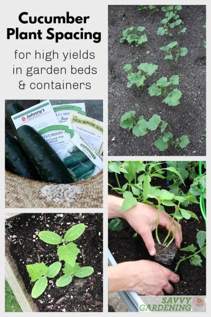 Le meilleur espacement des plants de concombre pour des rendements élevés et des plantes saines