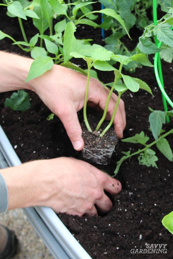 À quelle distance les uns des autres planter des greffes de concombre