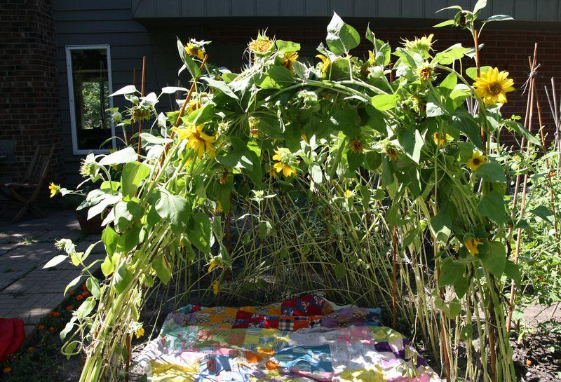 Comment faire pousser une maison de tournesol