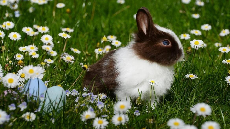 Photos d'animaux de bébé |  Pourquoi avons-nous un lapin de Pâques?