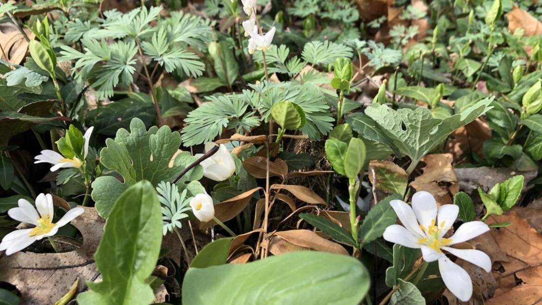 10 éphémères printanières: les premières fleurs sauvages