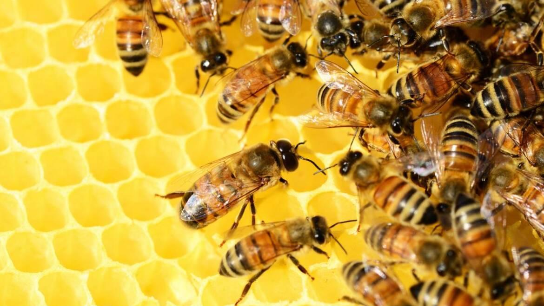 Apiculture 101: Comment commencer à élever des abeilles – Planification