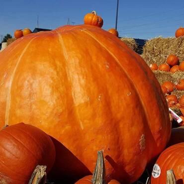 1618621698_pumpkin-giant.jpg