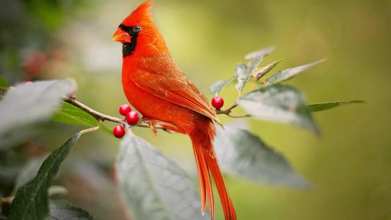 meilleurs arbres et arbustes pour les oiseaux
