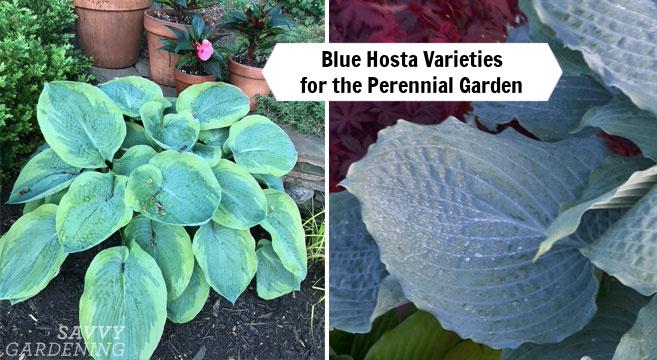 Variétés d'hosta bleu à planter dans un jardin vivace