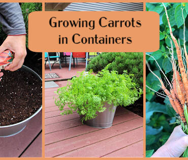 growing-carrots-in-containers-FB.jpg