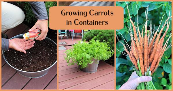 Un moyen facile de faire pousser des carottes n'importe où!