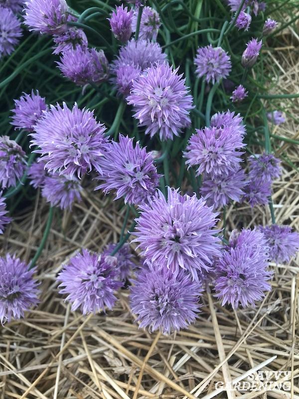 Les fleurs de ciboulette comestibles en fleur sont prêtes pour la récolte
