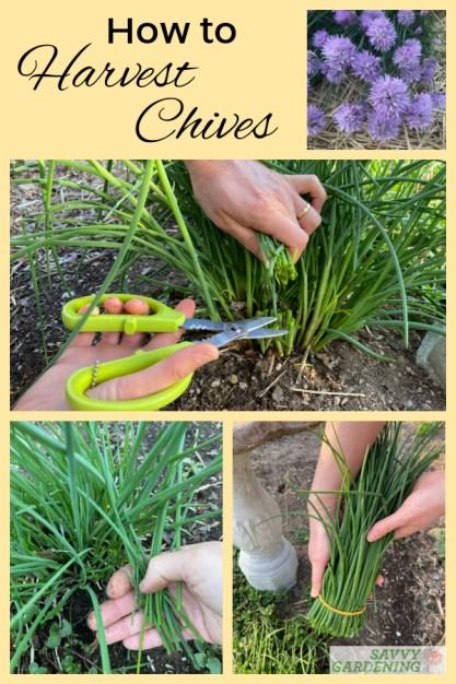 Comment récolter la ciboulette du jardin ou des plantations en pot
