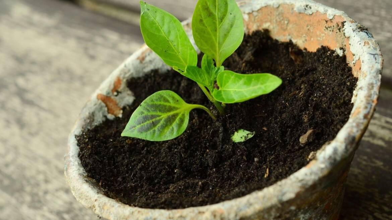 Transplanter des semis: comment et quand transplanter