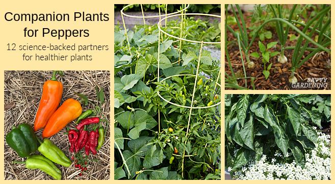 Plantes d'accompagnement pour les poivrons: 12 choix fondés sur la science