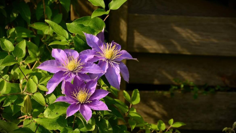 Clématite: Découvrez les petites variétés de vignes et d'arbustes à fleurs