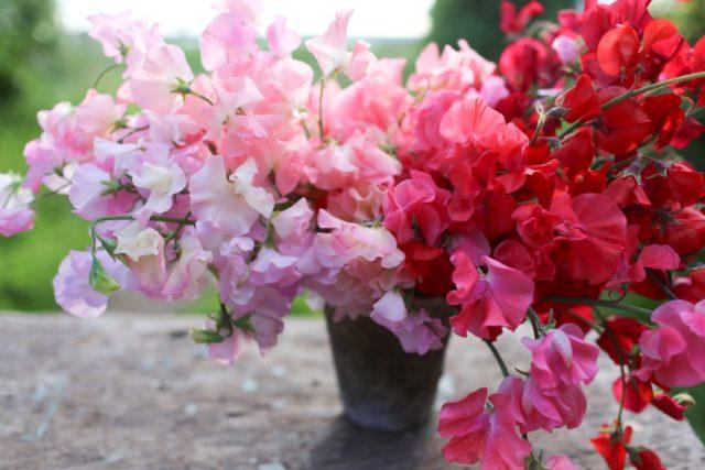 Petits pois roses et rouges