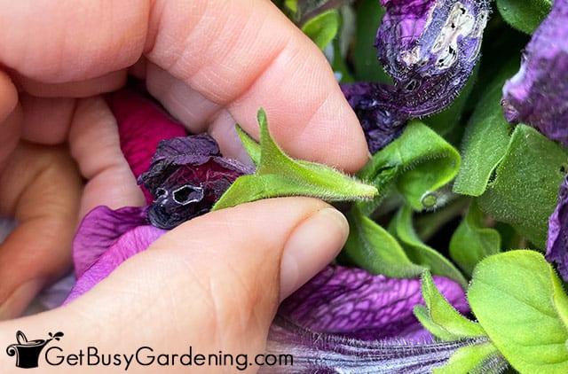 Deadheading une fleur de pétunia fanée