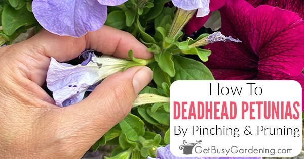 Comment Deadhead Petunias pour les garder plus pleins et fleurir tout l'été!
