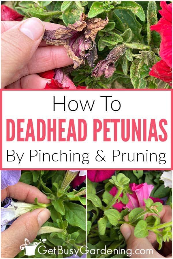 Comment tuer les pétunias en pinçant et en élaguant