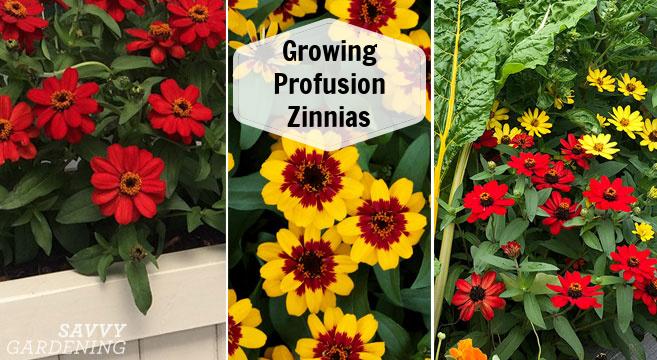 Cultivez une abondance de ces magnifiques fleurs annuelles