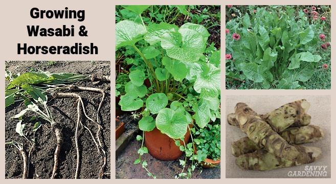 Cultiver du wasabi et du raifort dans un jardin potager
