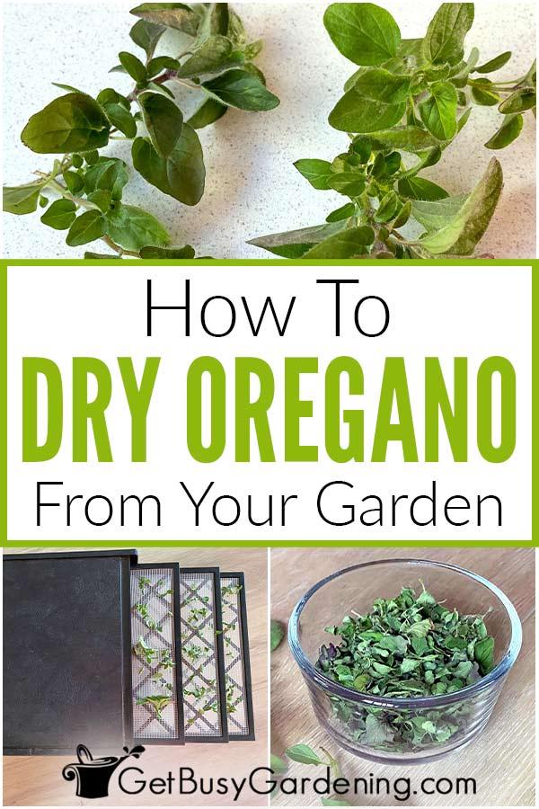 Comment sécher l'origan de votre jardin