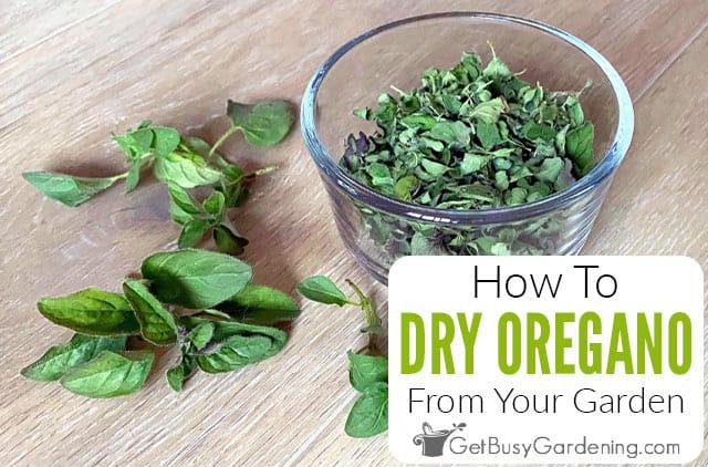 Comment sécher l'origan à la maison de 4 manières différentes