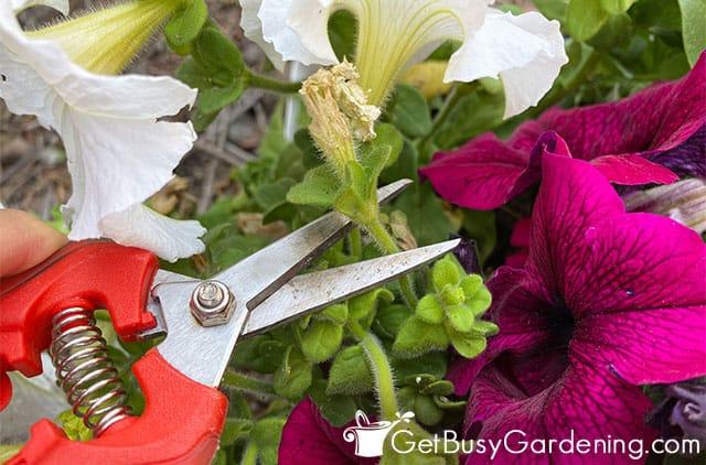 Taille d'une fleur de pétunia morte