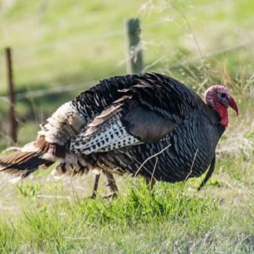 wild-turkey-1110479_1920.jpg