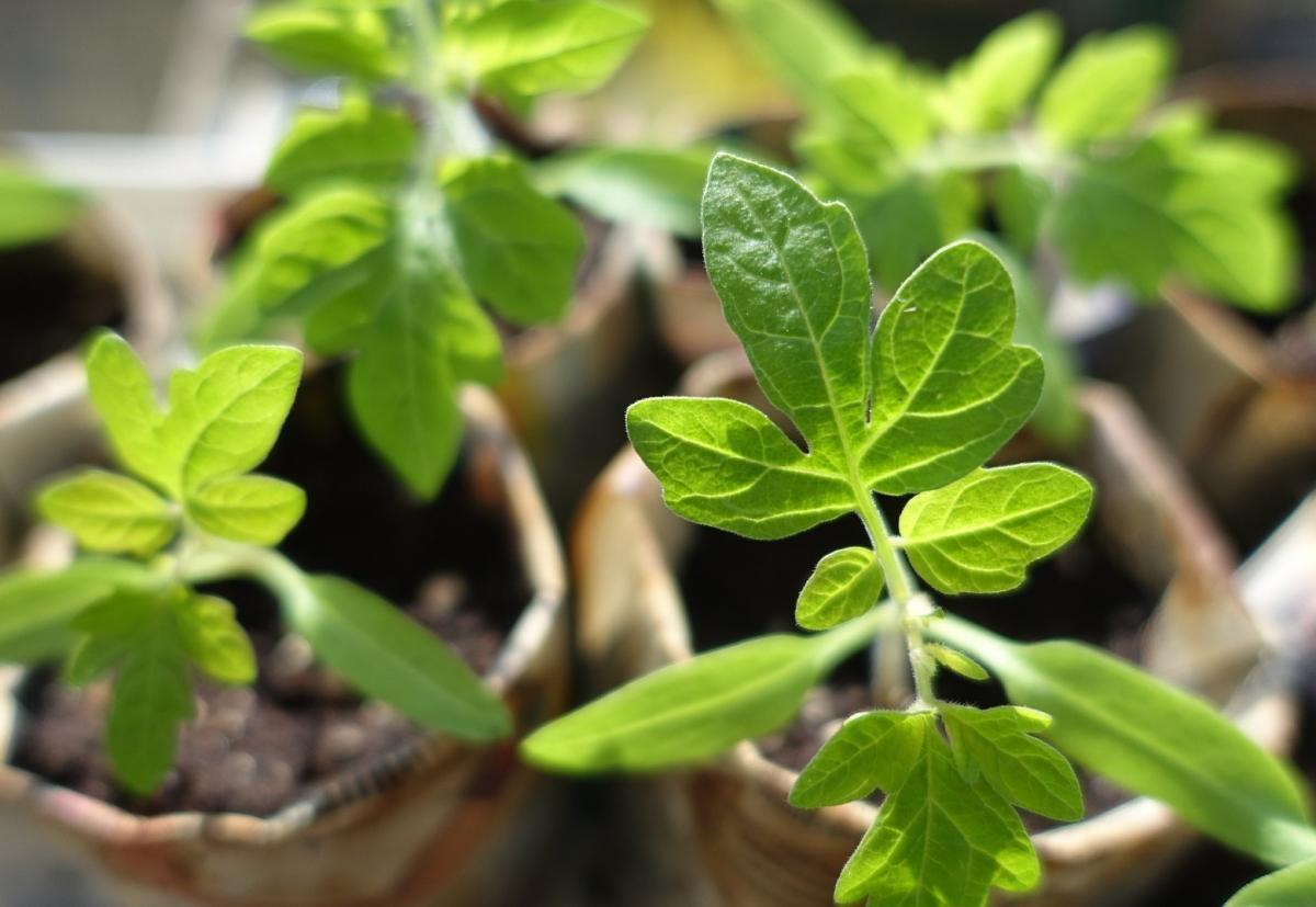 Identification des semis de légumes: images et descriptions des légumes communs