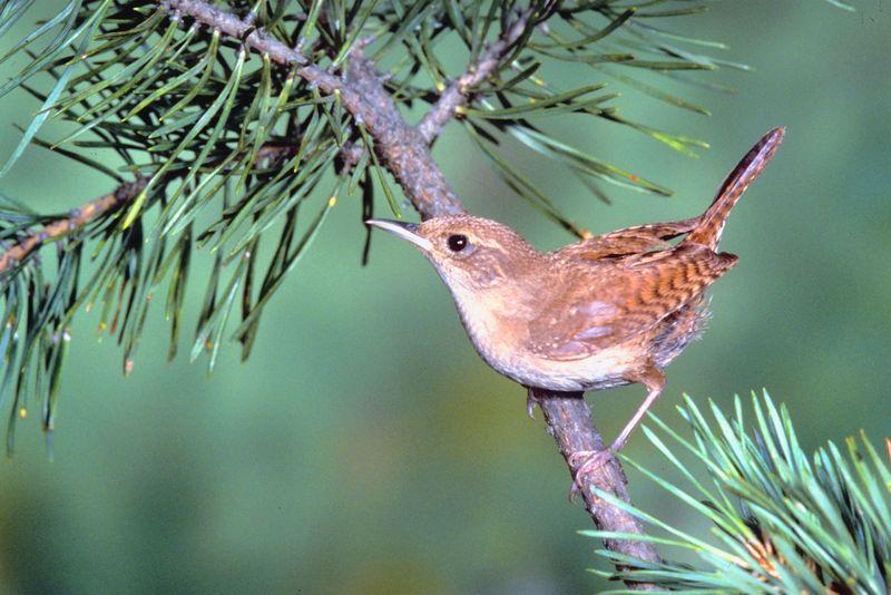 Sons d'oiseaux et chants du troglodyte familier