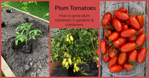 Comment faire pousser des tomates prunes dans les jardins et les conteneurs