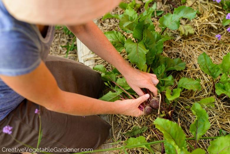 femme, récolte, betteraves, dans, jardin