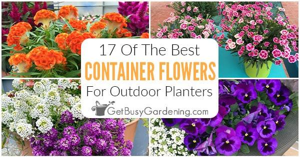 17 meilleures fleurs pour le jardinage en conteneur