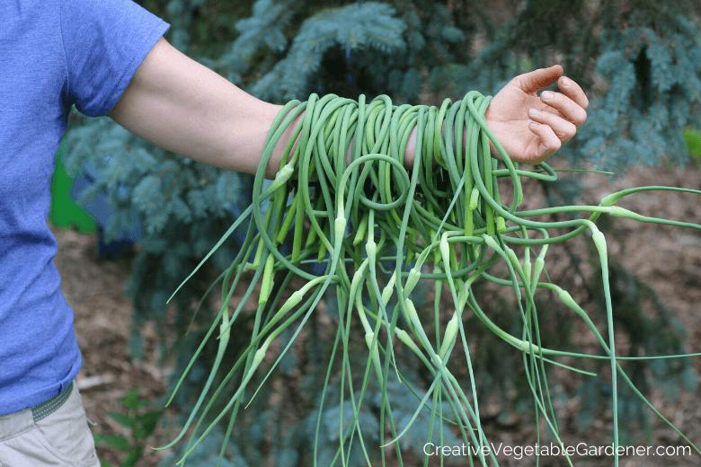 récolte des fleurs d'ail