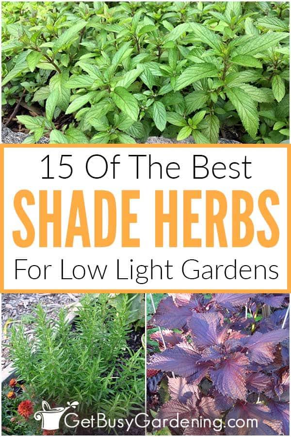 15 des meilleures herbes d'ombre pour les jardins à faible luminosité
