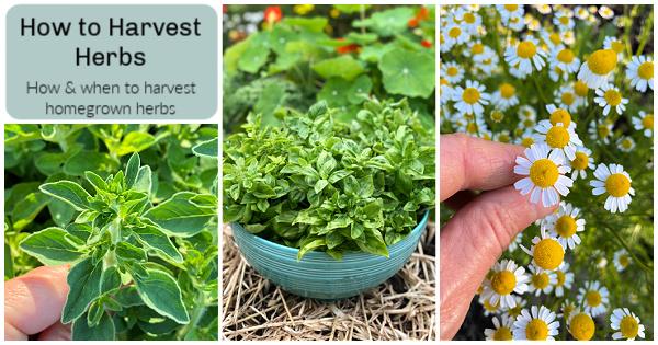 Comment et quand récolter les herbes du potager