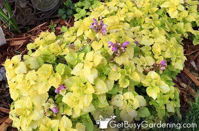 Lamium prospère dans une zone humide et ombragée de ma cour
