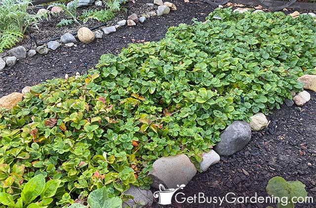 Fraises ornementales poussant dans un jardin ombragé