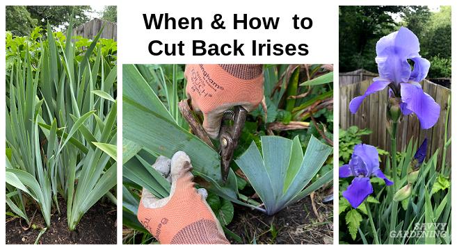 Quand couper les iris pour des plantes plus saines et plus attrayantes