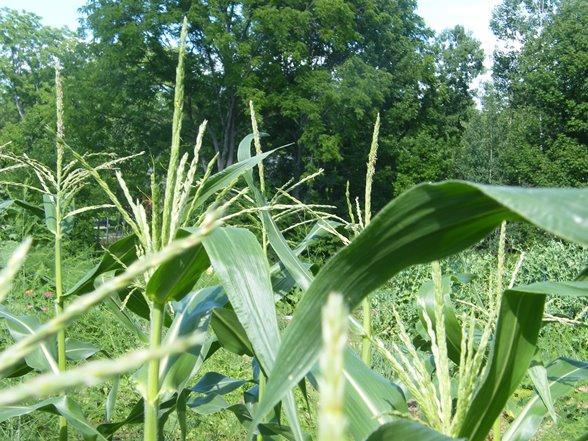 Utilisations du maïs : recettes, médicinales, artisanat