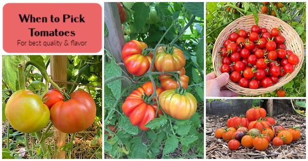 Quand cueillir les tomates pour la meilleure saveur et la meilleure qualité de fruits