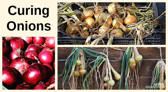Traitement des oignons pour un stockage à long terme et une utilisation hivernale