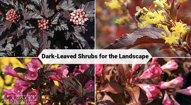 Planter des arbustes à feuilles sombres intéressants dans un paysage